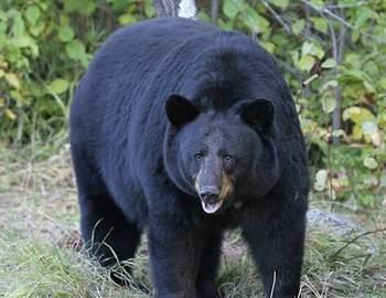 черный медеведь напал на туриста