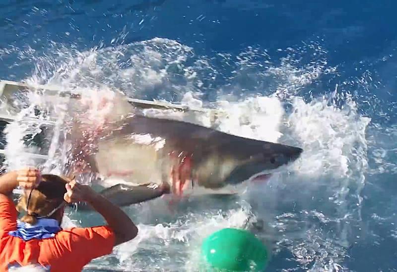 окровавленная акула
