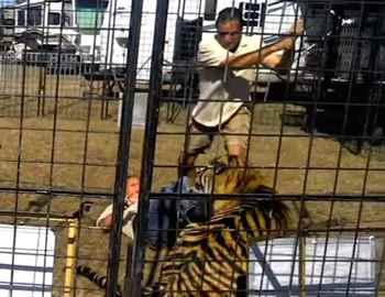 тигр ухватил женщину за ноги