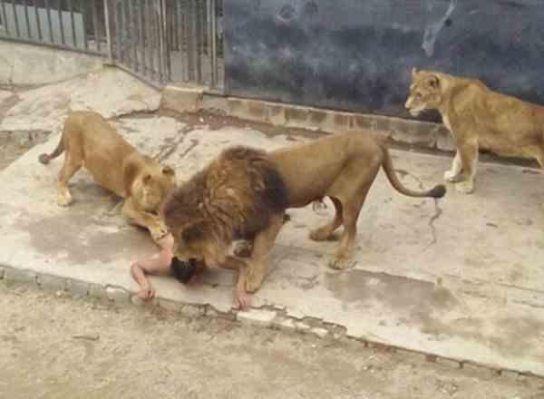 Львы прижали парня к земле