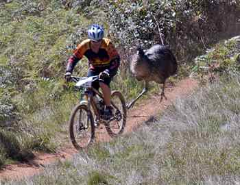эму гонится за велосипедистом