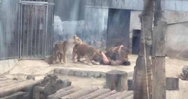 львы напали на парня
