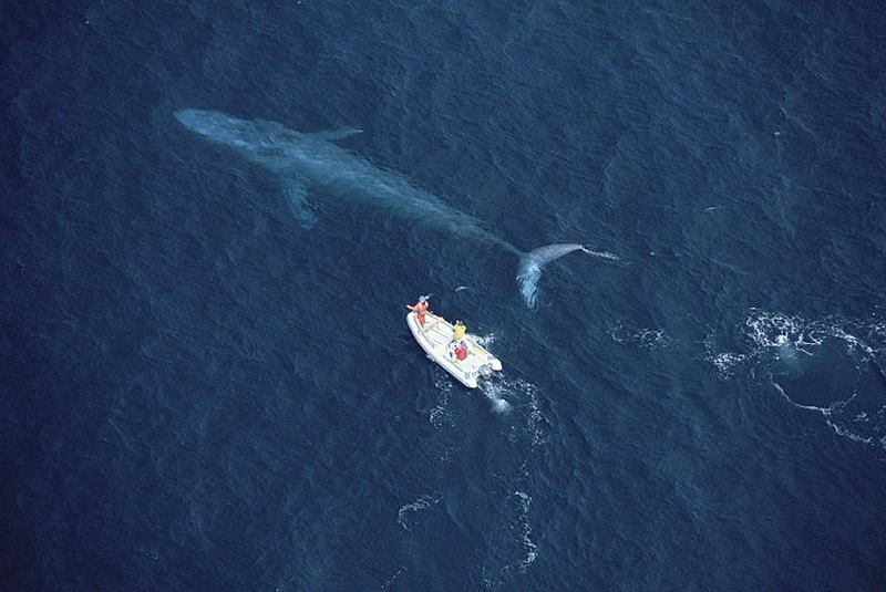 под синим китом