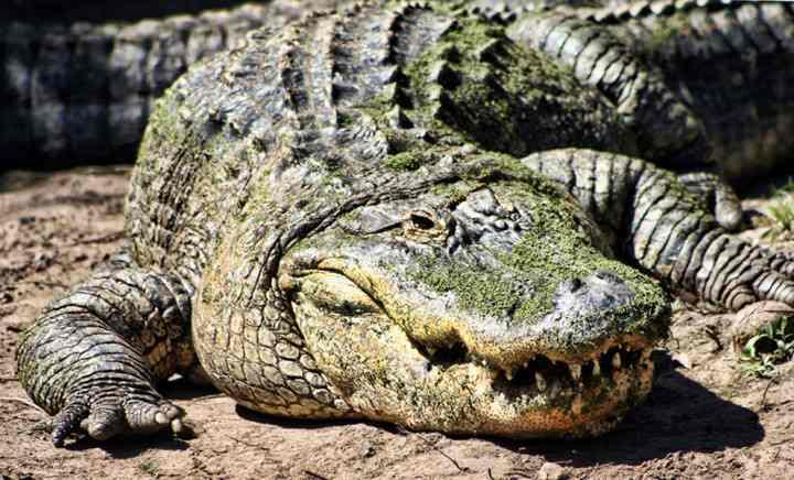 крупный аллигатор