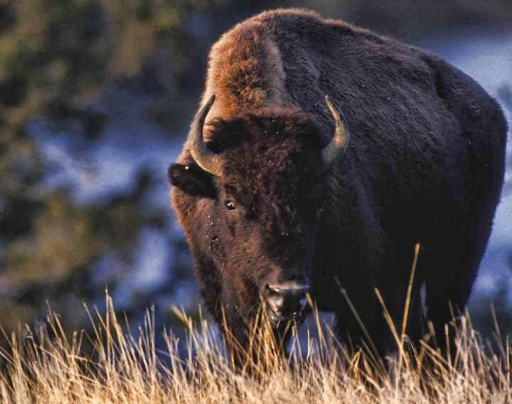 опасный бизон