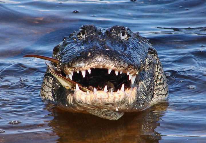 аллигатор улыбается