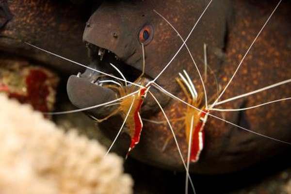 чистка мурены