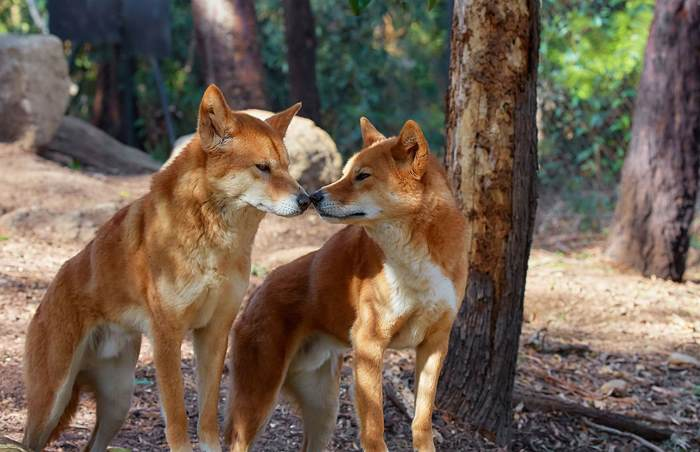dingoes to cull or not to Who's afraid of the big bad wolf: is the dingo friend or conserve or cull the dingo has recently been identified as a threatened species by dingoes not.