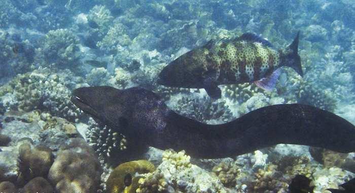 Морской окунь (групер) охотится с муреной