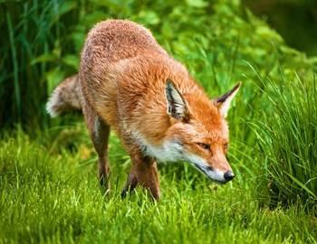 нападение лисы на спящего парня