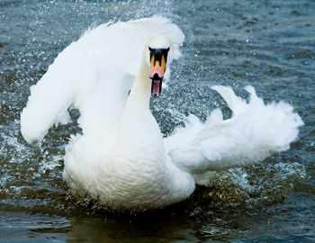 нападения лебедей на людей