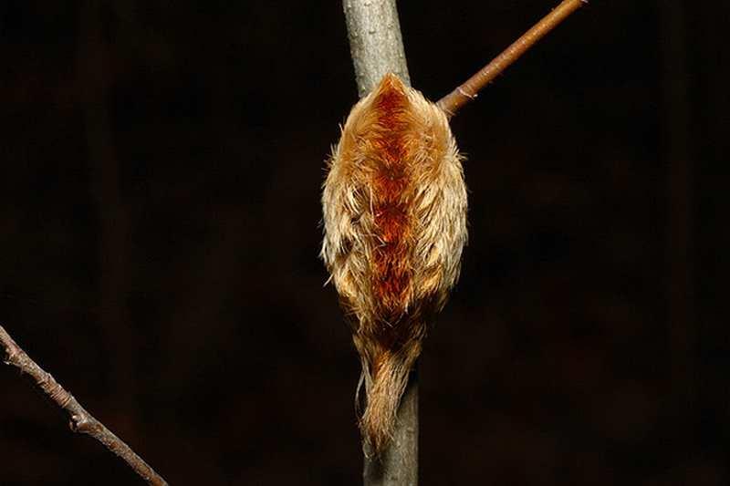 кокетливая гусеница