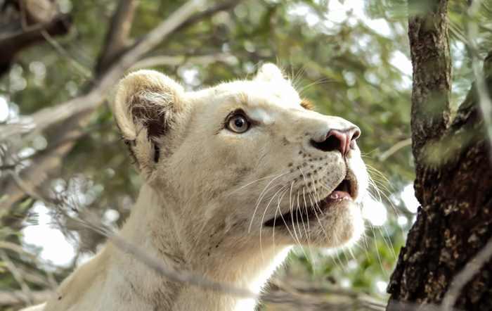белый лев забрался на дерево