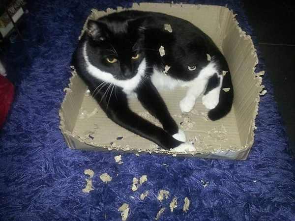 кот и разорванная коробка