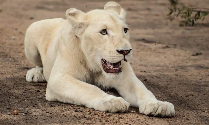 красивый белый лев