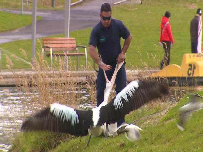 поймали пеликана кидающего на людей