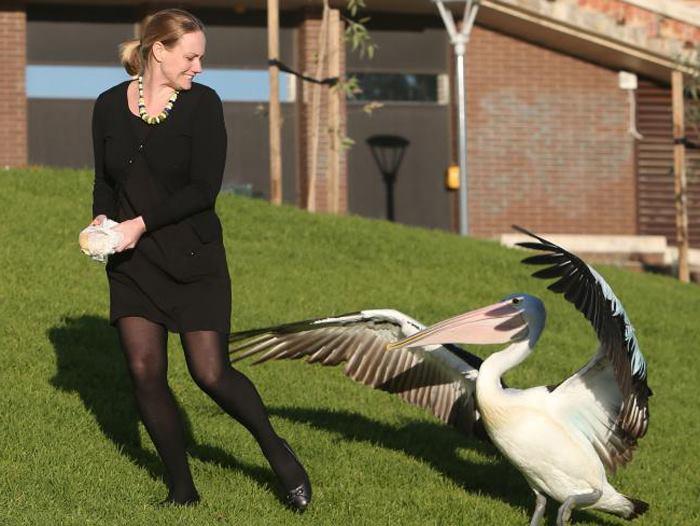 пеликан гонится за женшиной