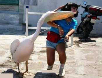 пеликан напал на человека