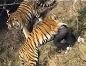 тигр набросился на китайца