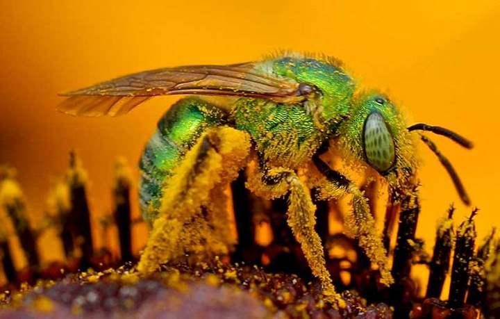 зеленая пчела