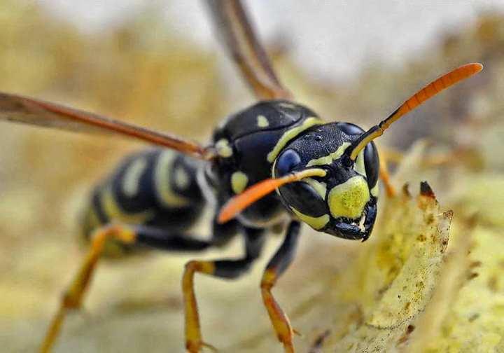 сильный укус осы