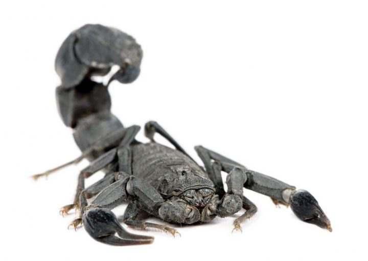 арабсий скорпион