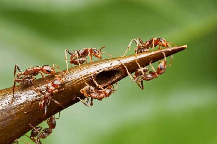 акациевый муравей