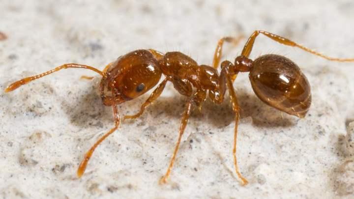 опасный муравей