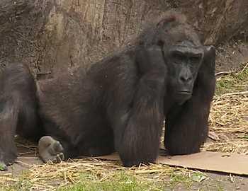 горила бросившая палку