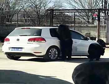 медведь напал на автомобиль