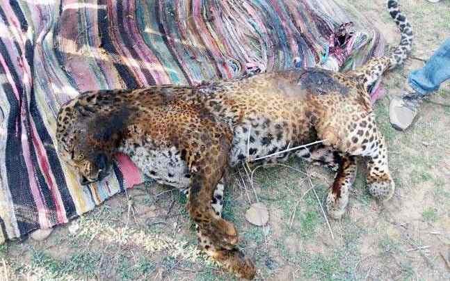обгоревший леопард