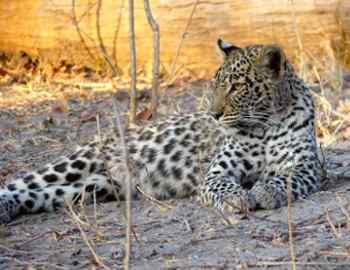 толпа подожгла леопарда