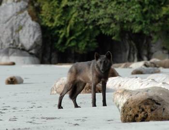 волк на берегу