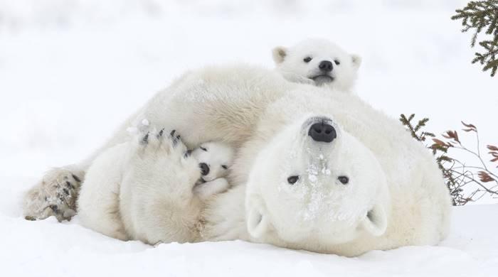 довольная медведица