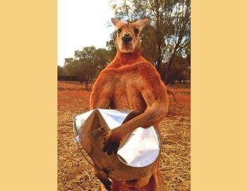 кенгуру смял ведро