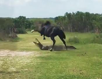 лошадь напала на крокодила
