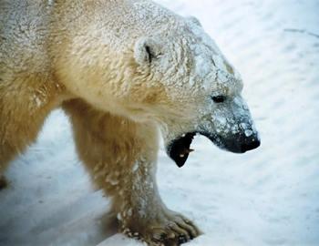 нападения белого медведя