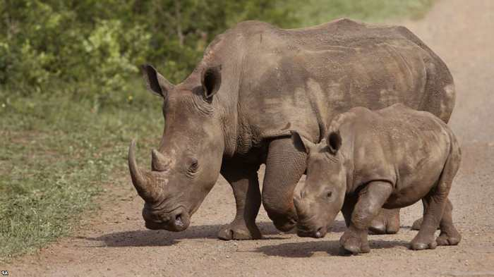 два носорога