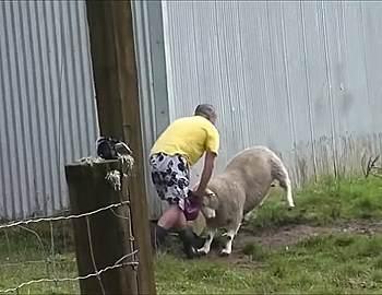 овца атакует мужчину