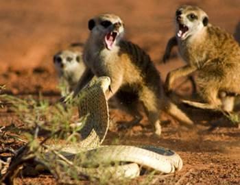 сурикаты против кобры