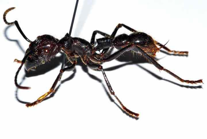 24-часовой муравей