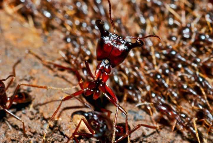 воинствющий муравей