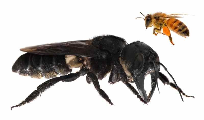 самая крупная пчела в мире