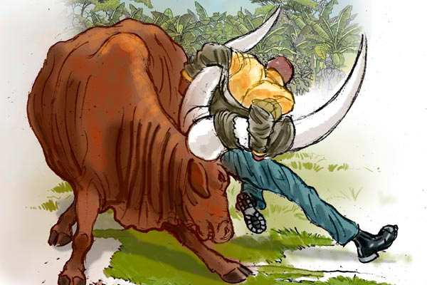 мучжина остановил быка