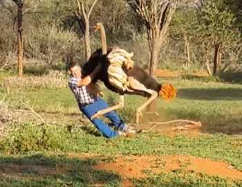 страус повалил мужчину на землю