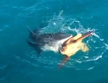акула и черепаха