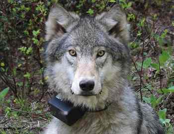 американский волк