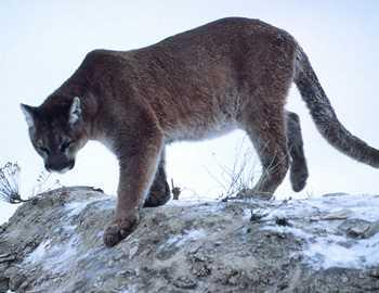 горный лев на снегу