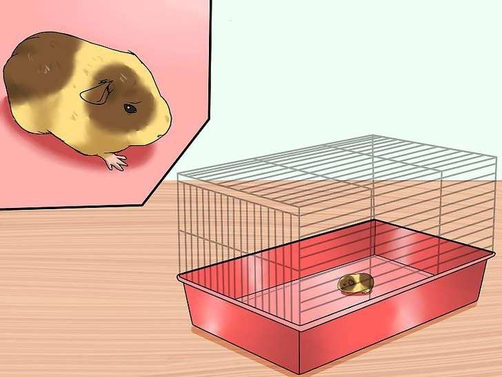 клетка морской свинки
