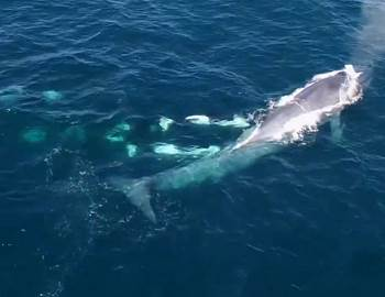 косатки напали на синего кита